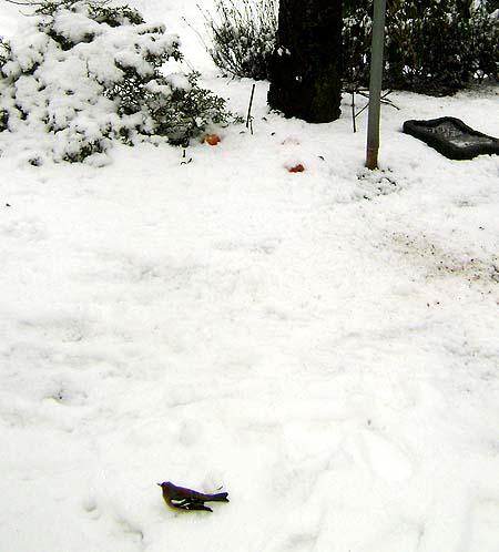 fugl-i-sne