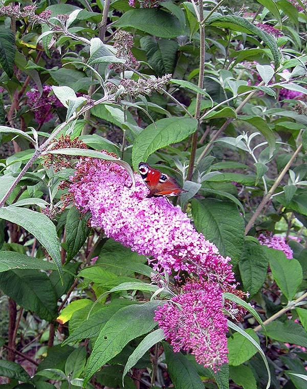 sommerfuglebusk 3