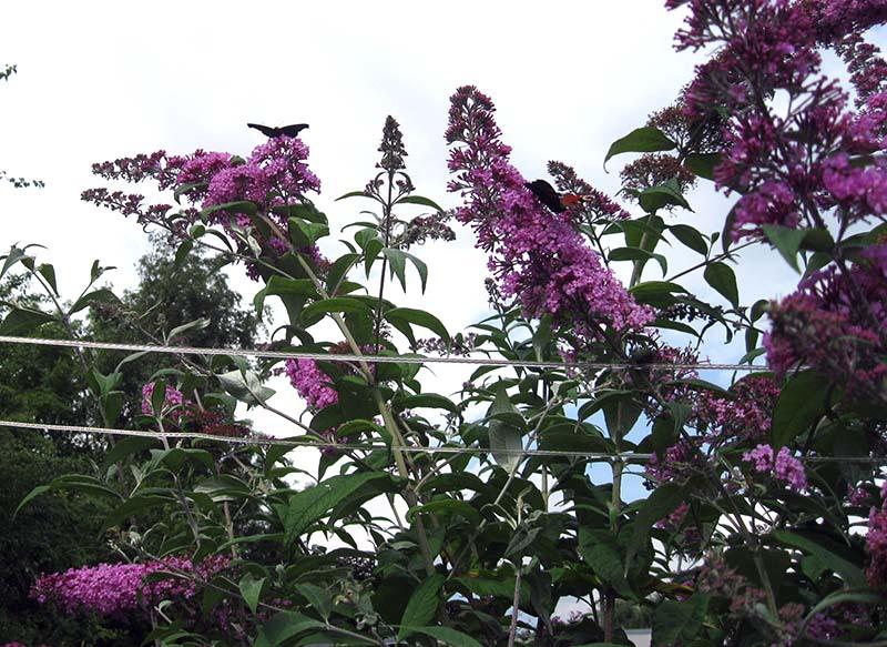 sommerfuglebusk 4